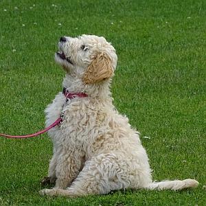 puppy-cursus